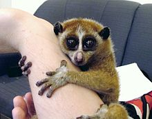 Slow Loris: Endangered and in my backyard in Cambodia