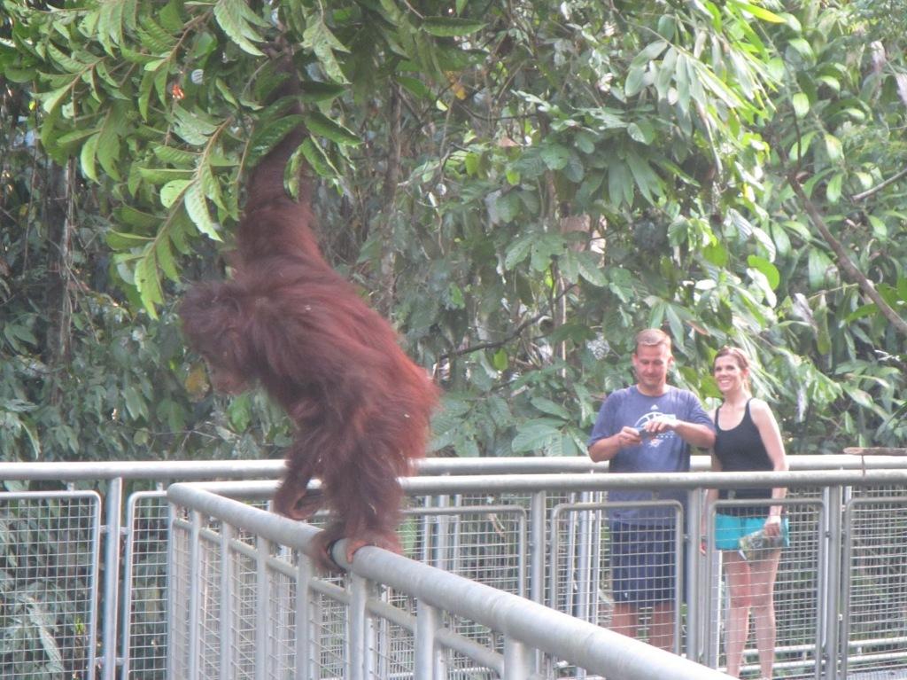 close-up-orangutan