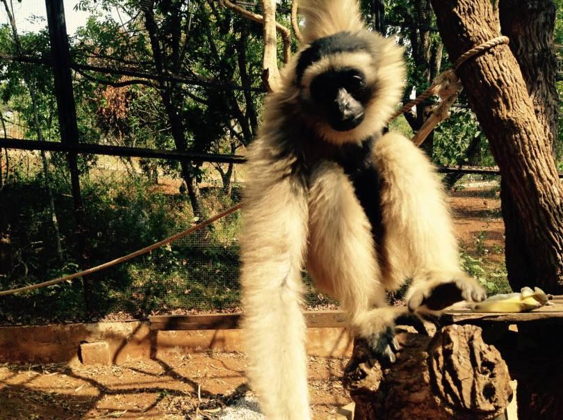 gibbon-closeup