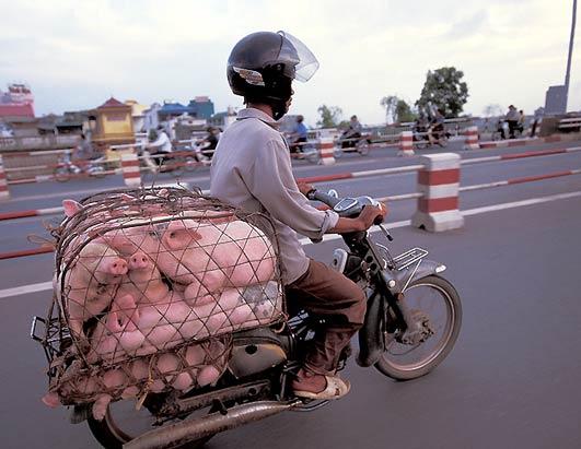bikes-pigs
