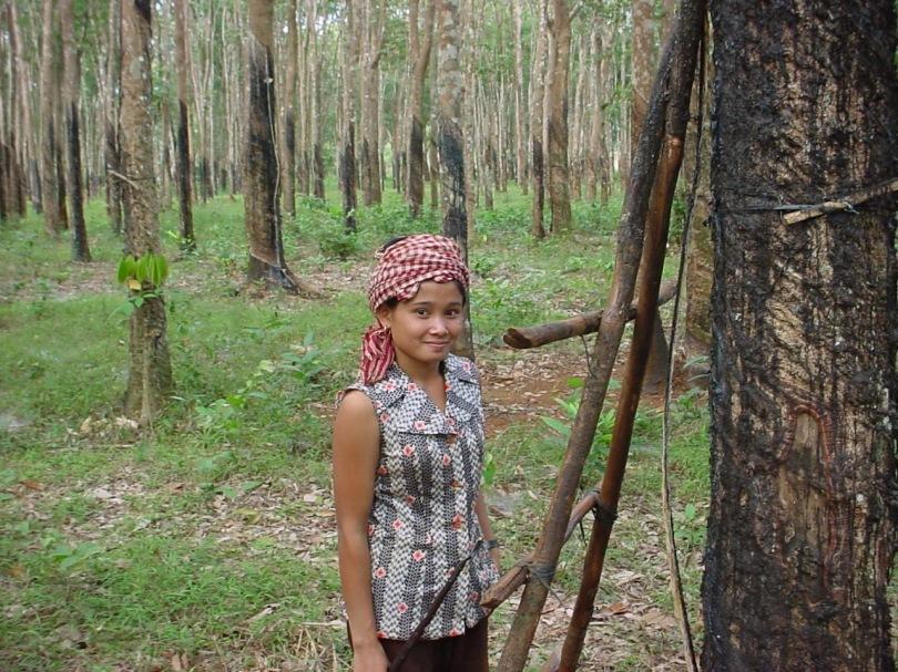 rubber tree plantations